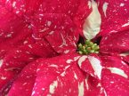 Jingle Bells Poinsettia-the actual flower is in the center of the bracts