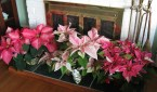 Use your poinsettias in groups