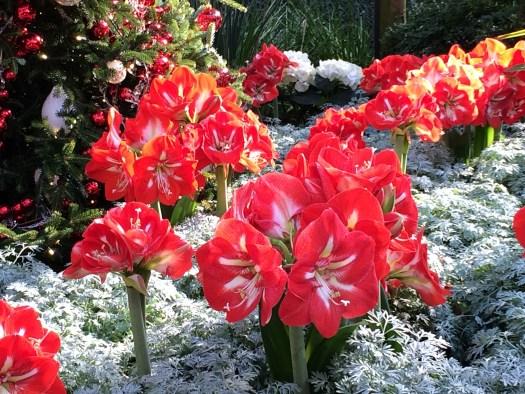 Amaryllis flowers used at Longwood