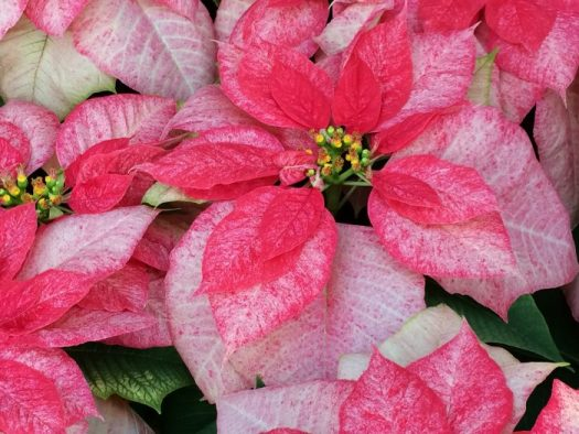Monet Poinsettia