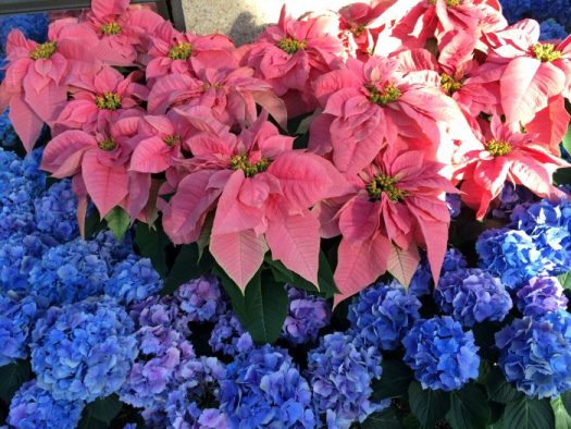 Poinsettias with blue hydrangeas