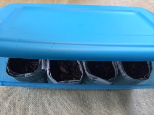 Seed starting in Tupperware containers