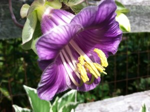 Cup and Saucer Vine-another little beauty that I start from seed