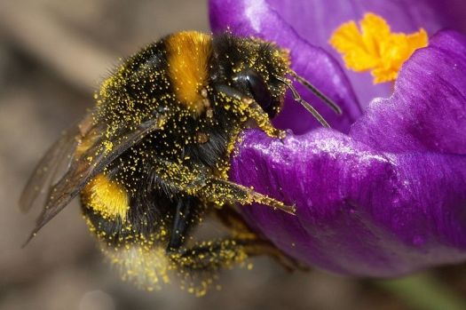 Bumblebee pollinating flower from Wikipedia