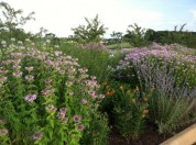 Bee Balm and Lavender