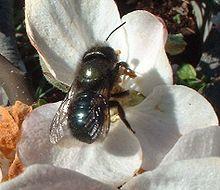 Mason bee on apple blossom