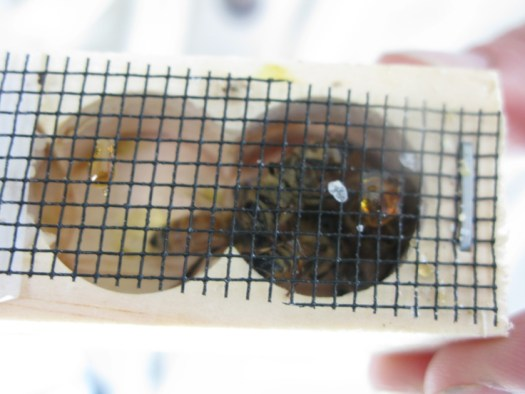 Fertile Honeybee Queen ready to be released to start laying eggs