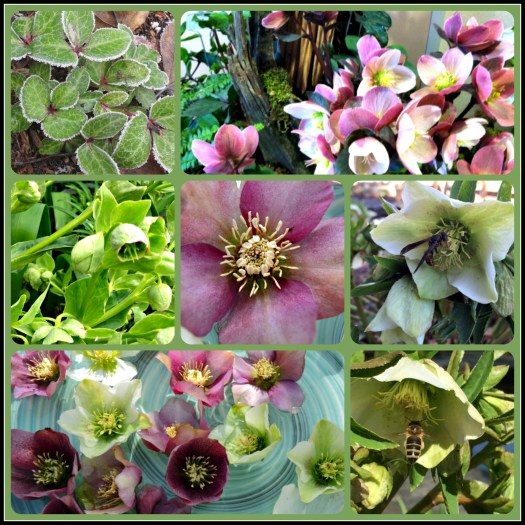 collage of helleborus