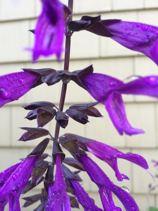 Salvia Amistad flower