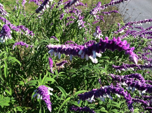 Mexican Sage or Salvia, which is a tender perennial