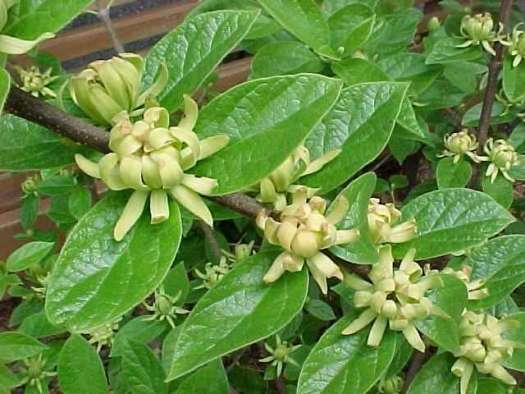 Calycanthus 'Athens'