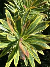Euphorbia Ascot Rainbow