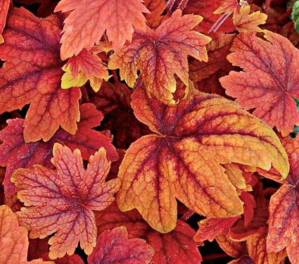 Orange and peach Heucheras are a dime a dozen