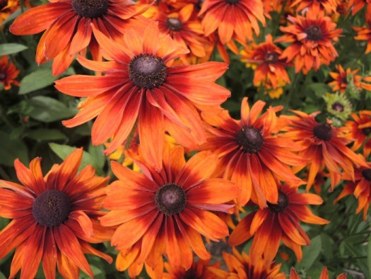 Rudbeckia Joy Creek Select