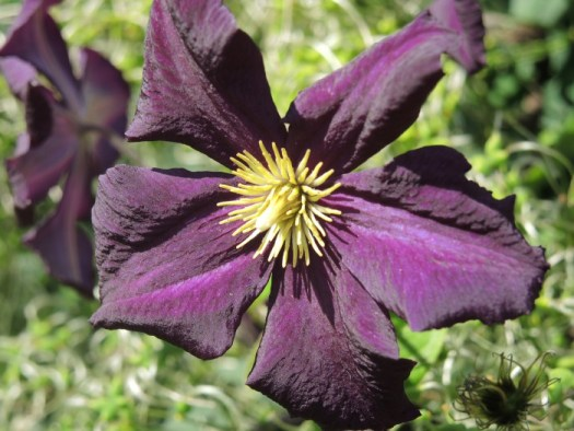 Nearly black clematis