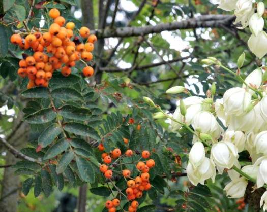 Orange berries on Mountain Ash with creamy flowers of Yucca