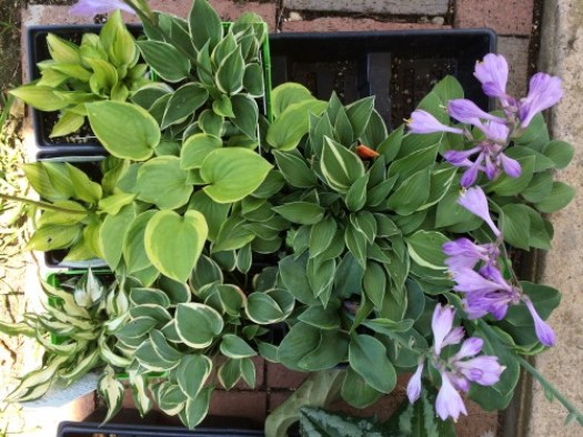 A tray of miniature hostas showing the variety that the 'littles' come in