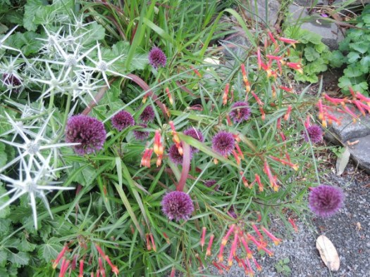 Alliums intermingle with other flowers nicely