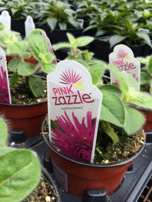Pink Zazzle at the nursery