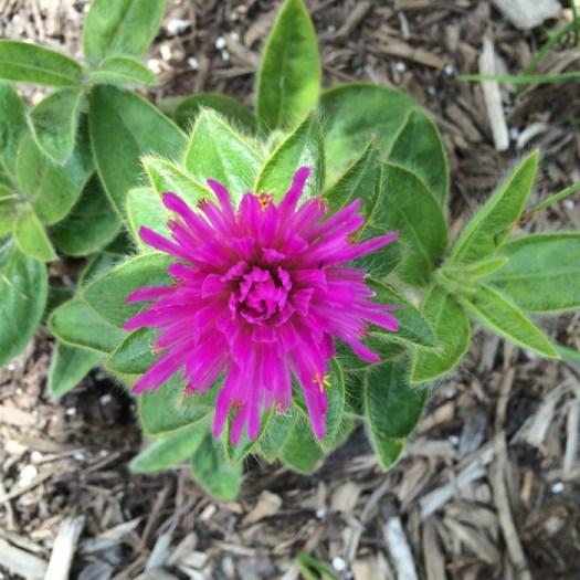 pink zazzle gomphrena