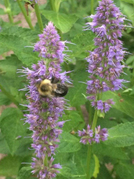 Anise Hyssop, Blue Fortune in the container attracted lots of buble bees and butterflies