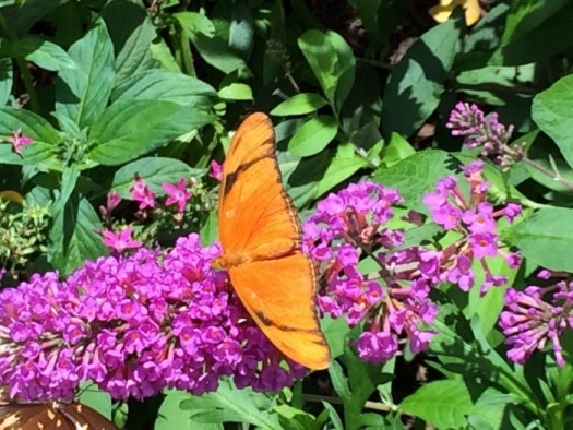 Butterfly on butterfly bush bloom