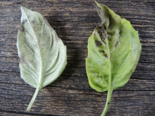 Basil leaves infected with basil downy mildew