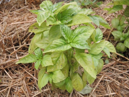Sweet Basil starting to be infected with Basil Downy Mildew at the base and then it moves up the plant