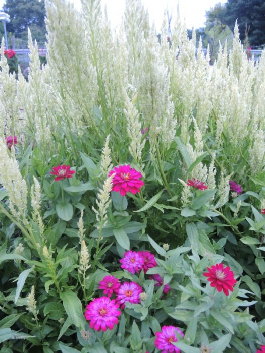 Celosia 'Sylphid' with Zinnias