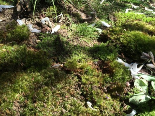 Placing patches of moss together to form a blanket of moss