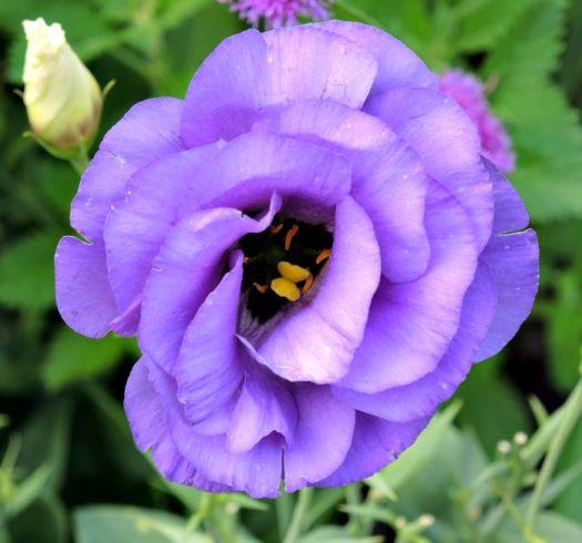 Lisianthus resembles a rose