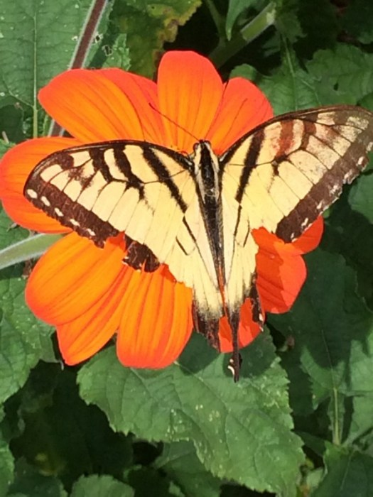 A swallowtail nearing the end of its life shows some wear