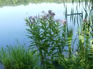 Swamp Milkweed growing by pond