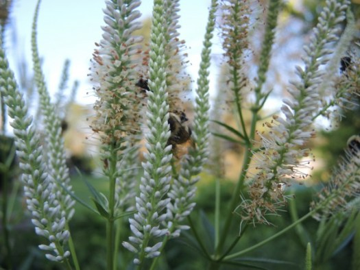 Culver's Root attracts hordes of bees
