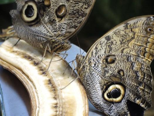 Owl Butterfly feeding on fruit