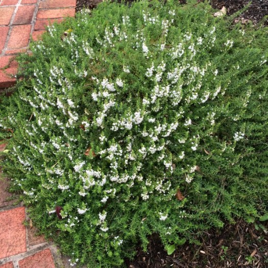 Winter Savory spilling over a walkway