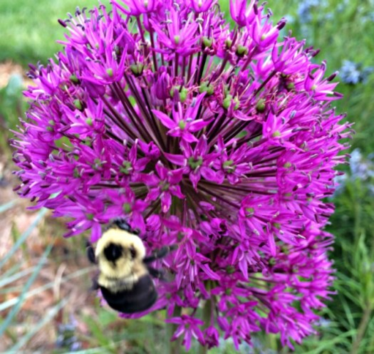 Bees love alliums for their nectar