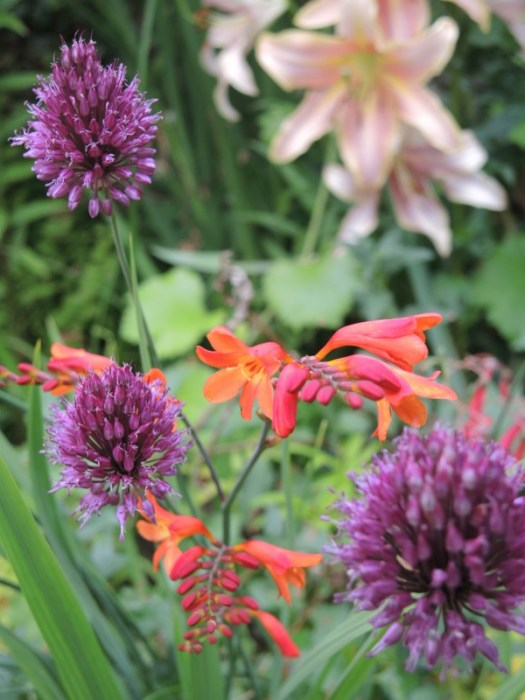 Drumstick allium, Purple Sensation