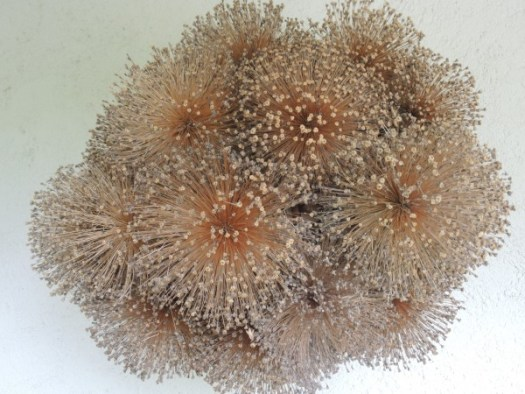 Allium orb made out of dried seed heads