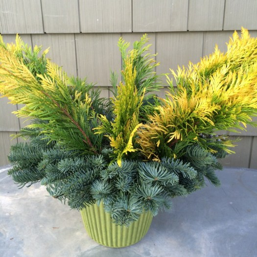 Once you place the wreath on top of the pot, start adding your plant material-Here, I use gold tipped Arborvitae