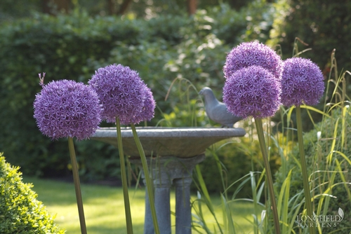 Allium Globemaster, from Longfield Gardens