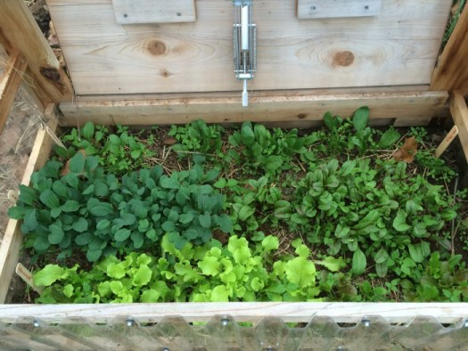 Kale and lettuce in my cold frame