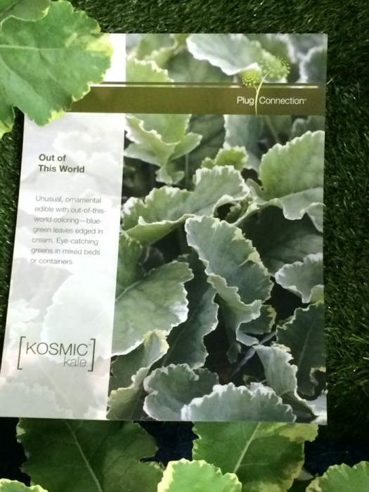 Kosmic Kale, a beautiful ornamental Kale which is good to eat