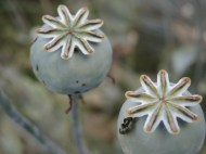 Poppy seed heads are great dried and used in arrangements