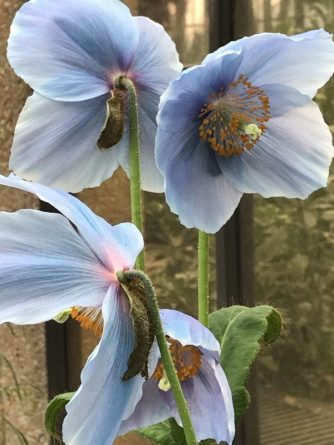 Every year at Longwood the Blue Poppies are used in different areas of the Conservatory