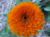 Calendula comes in both yellow and orange