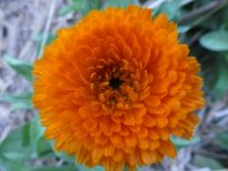 Calendula comes in both yellow and orange