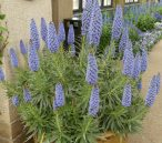 Pride-of -Madeira. Echium candicans is part of the display