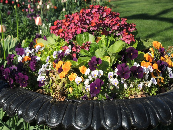 Violas planted with lettuce