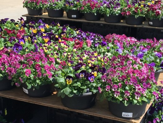 Violas and pansies in the greenhouse